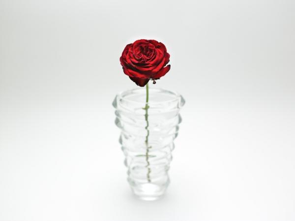 red-rose-6
