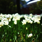 横浜公園のチューリップ Part-1