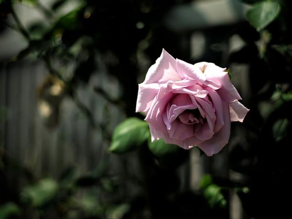 flower_saiwai 01