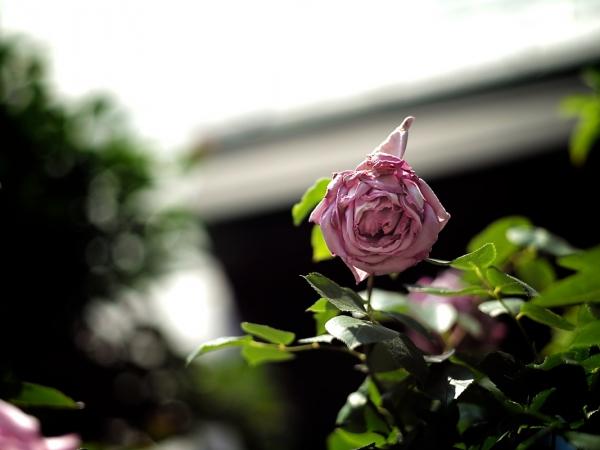 flower_saiwai 06